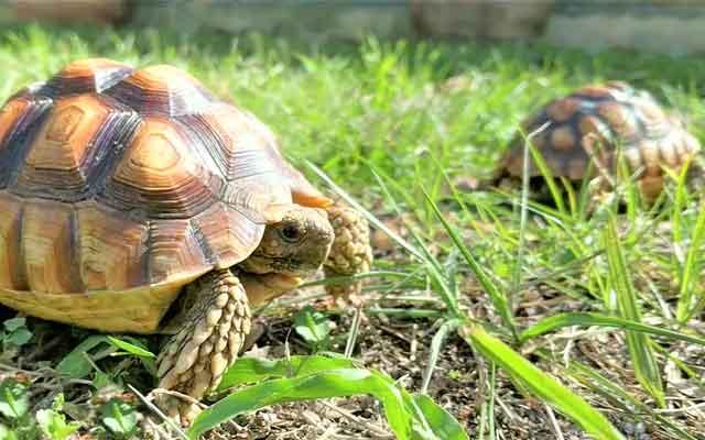Sulcata Tortoise | Our critters