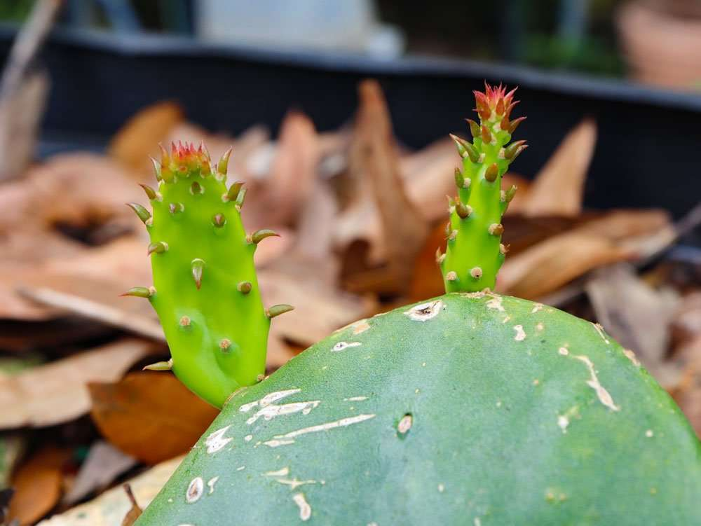 Prickly Pear Cactus | Florida food forest gardening